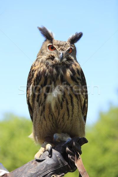 Stock photo: Owl
