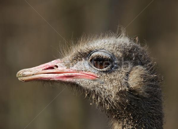 汚い ダチョウ 肖像 プロファイル 鳥 面白い ストックフォト © RazvanPhotography