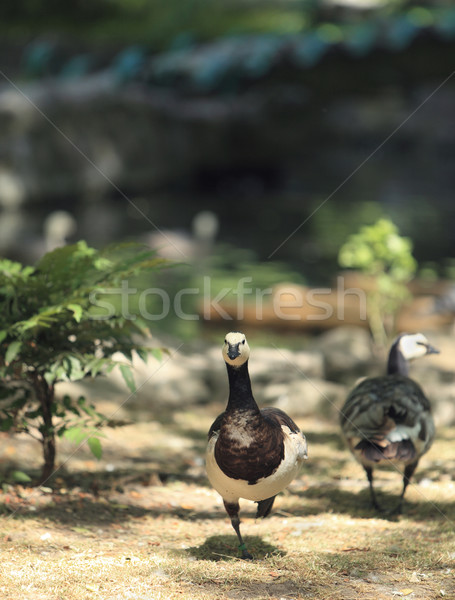 Geese Stock photo © RazvanPhotography