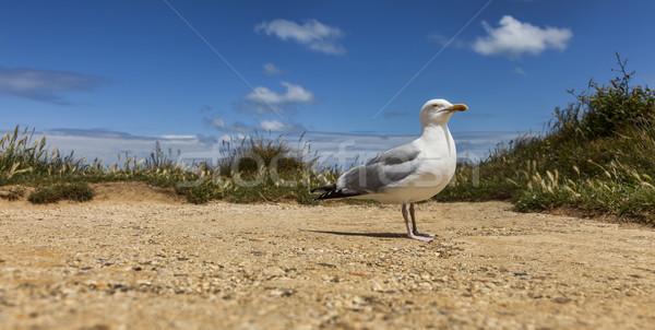 The European Herring Gull on the Etretat Stock photo © RazvanPhotography