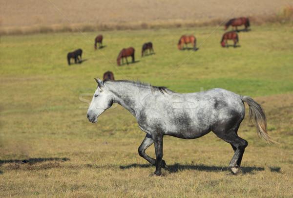 Rebanho cavalos cavalo campo natureza fazenda Foto stock © RazvanPhotography