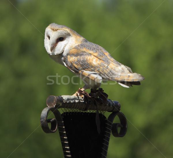 Masked Owl Stock photo © RazvanPhotography