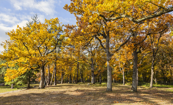 Yellow Autumn Forest Stock photo © RazvanPhotography