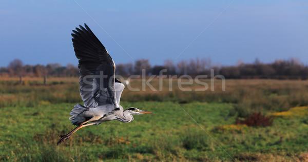 Vliegen grijs reiger afbeelding groot groene Stockfoto © RazvanPhotography