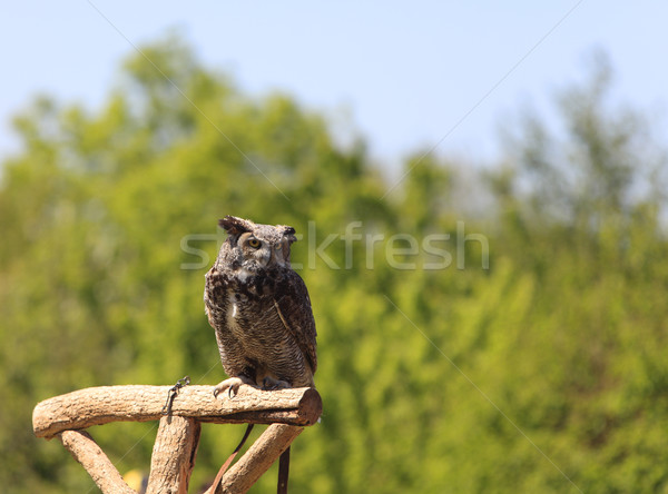 Owl Stock photo © RazvanPhotography