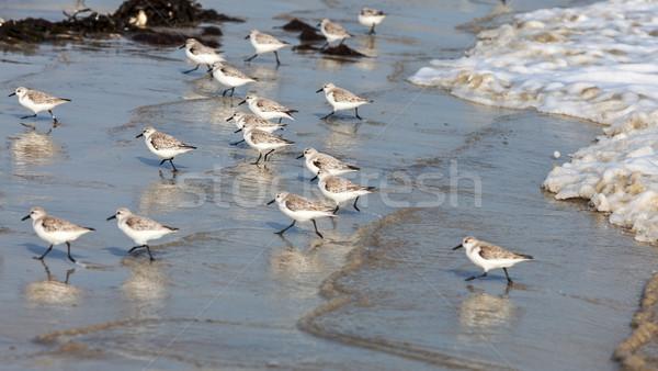 Sandpipers Running Stock photo © RazvanPhotography
