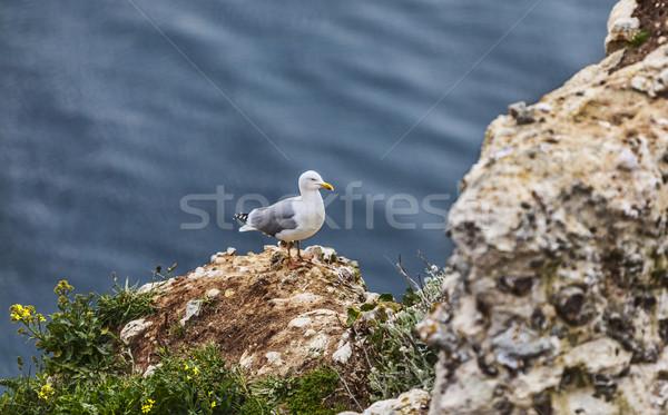 The European Herring Gull on the Etretat Cliffs Stock photo © RazvanPhotography