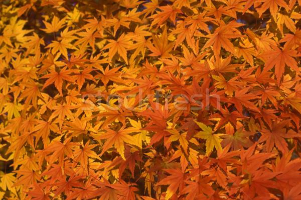 Bordo folhas impressionante amarelo árvore abstrato Foto stock © RazvanPhotography