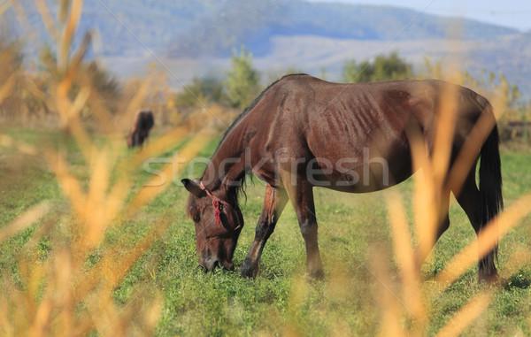 Horse grazing Stock photo © RazvanPhotography