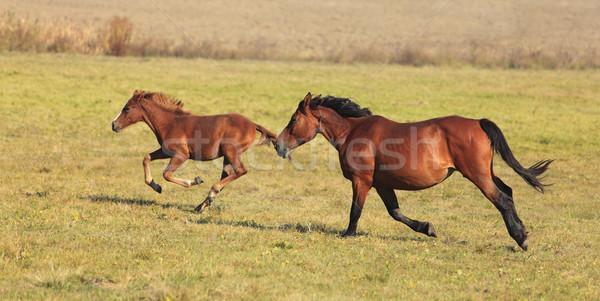 Atlar çalışma kısrak tay ücretsiz sonbahar Stok fotoğraf © RazvanPhotography
