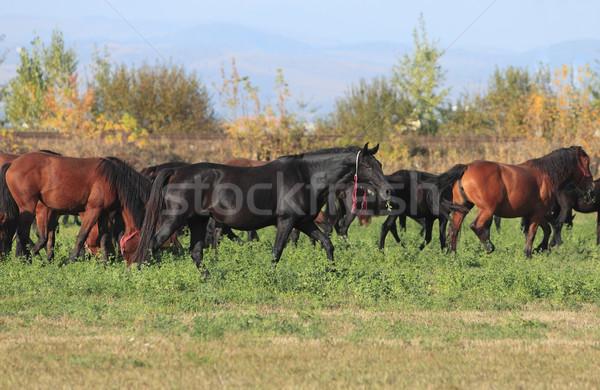 Nyáj lovak ősz mező természet csoport Stock fotó © RazvanPhotography