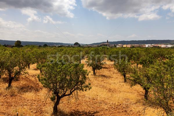 Almond Trees Orcahrd Stock photo © RazvanPhotography