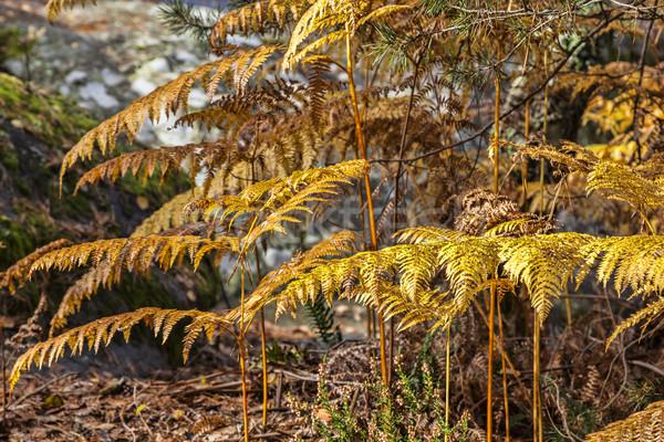 Foto stock: Otono · forestales · detalle · ocupado · oro · helechos