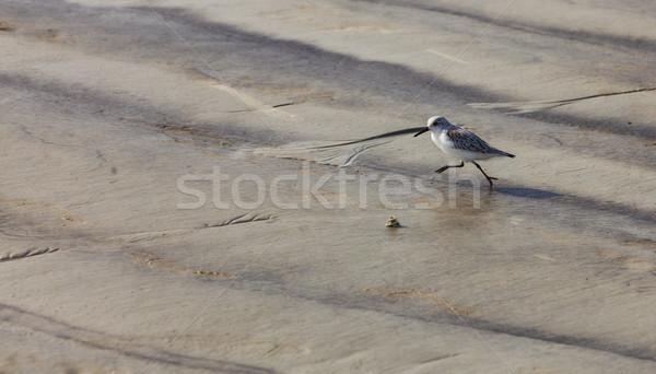 Sandpiper Running Stock photo © RazvanPhotography