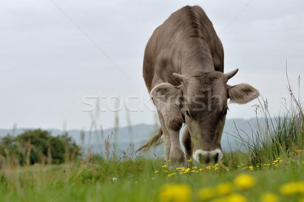 Tehenek nyár testtartás fű természet tájkép Stock fotó © razvanphotos