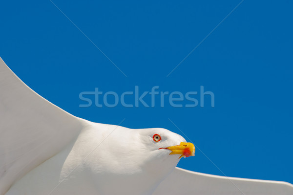 Seagull flying among blue sky Stock photo © razvanphotos