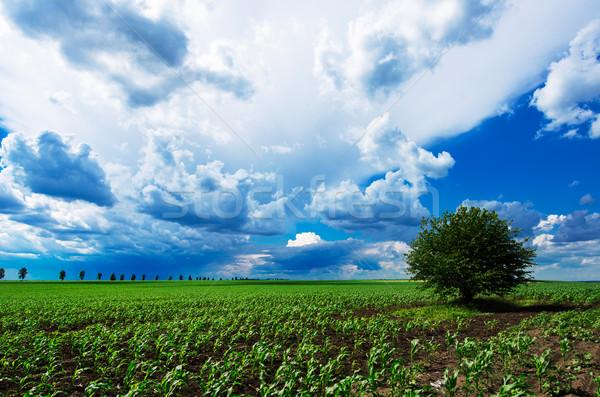 Tek başına ağaç yeşil çayır bulutlu gökyüzü Stok fotoğraf © razvanphotos