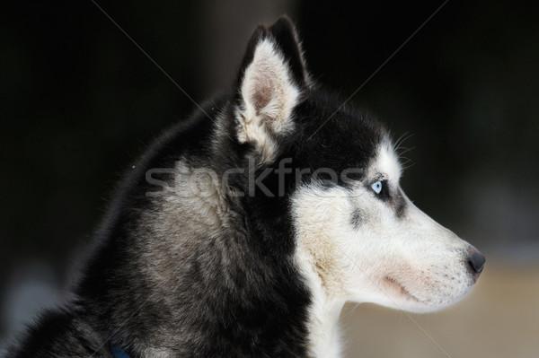 Siberian husky portrait Stock photo © razvanphotos