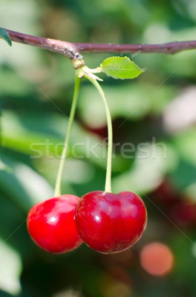 Cherries hanging on a cherry tree branch Stock photo © razvanphotos