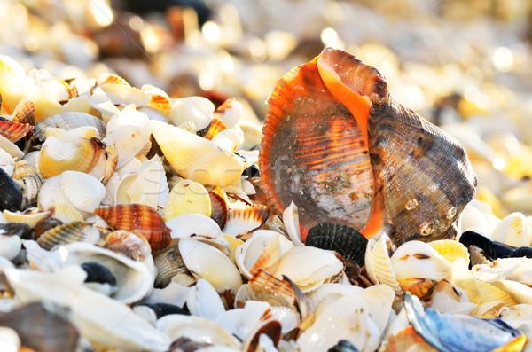 Seashells on the beach Stock photo © razvanphotos