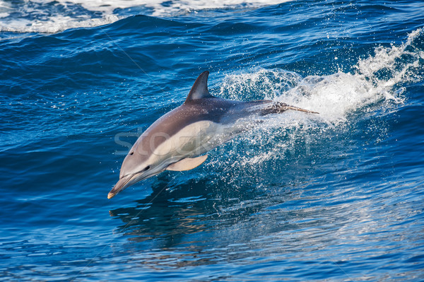 Dolphin jumping outside the sea Stock photo © razvanphotos