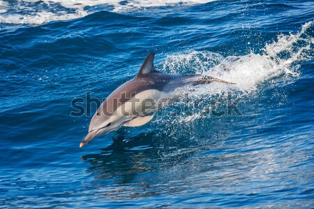 Dolphin jumping out of the water Stock photo © razvanphotos