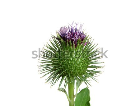 Spiny thistle flower isolated on white background Stock photo © rbiedermann