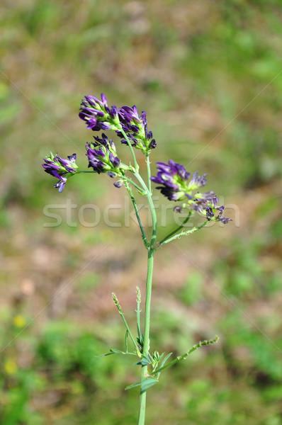 Alfalfa (Medicago sativa) Stock photo © rbiedermann