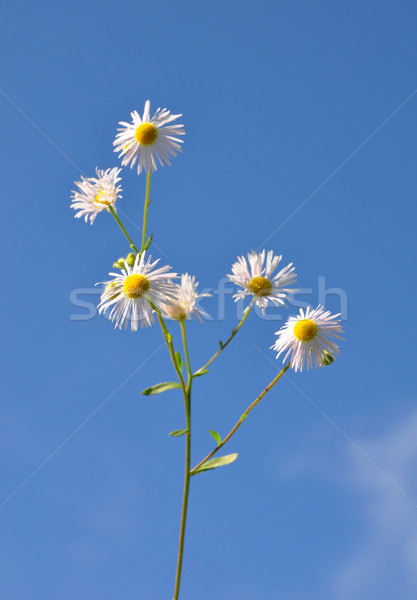 Annuale cielo bianco fiorire Foto d'archivio © rbiedermann