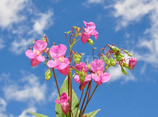 Himalayan balsam (Impatiens glandulifera) Stock photo © rbiedermann