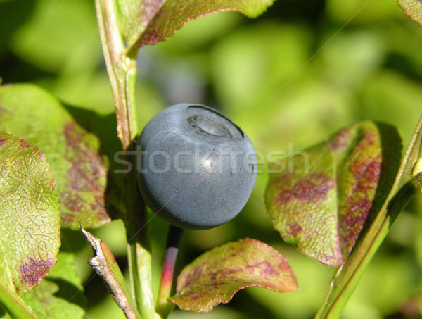 Bilberry with leaves Stock photo © rbiedermann