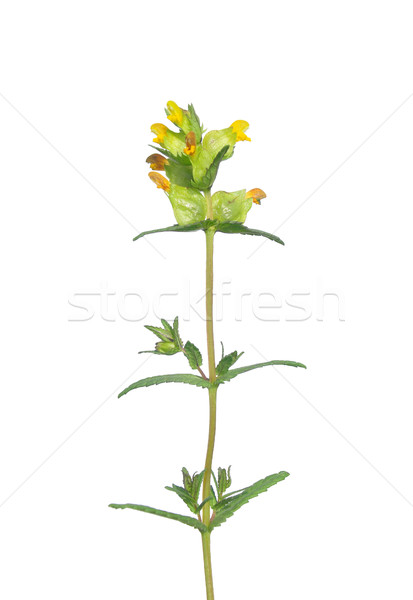 Yellow rattle (Rhinanthus minor) Stock photo © rbiedermann