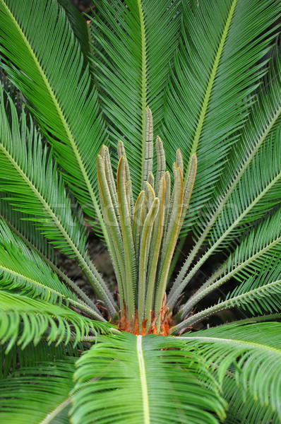 Cycad palm (Cycas) Stock photo © rbiedermann