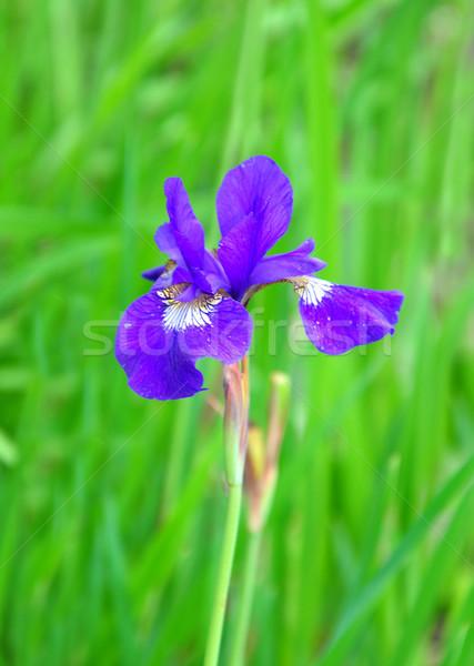 Azul bandera iris flor médicos naturaleza Foto stock © rbiedermann