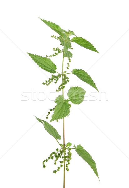 Stinging nettle (Urtica dioica) Stock photo © rbiedermann