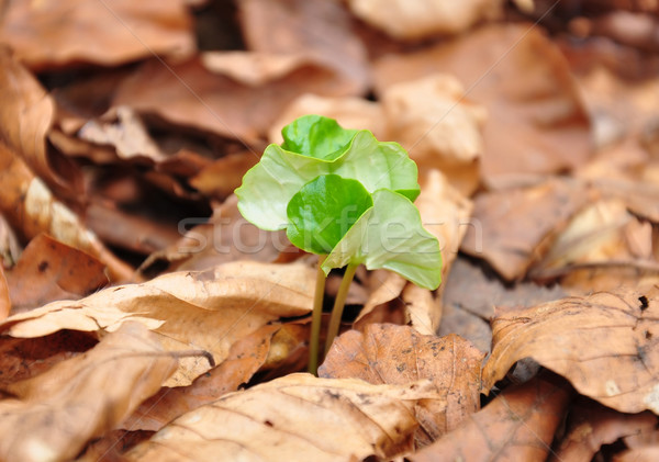 Beech seedling Stock photo © rbiedermann
