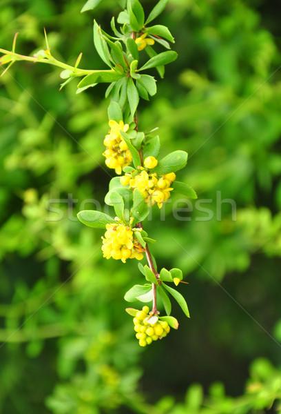 Clustered barberry (Berberis aggregata) Stock photo © rbiedermann