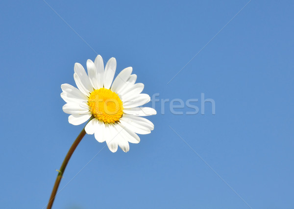 Oxeye daisy (Leucanthemum vulgare) Stock photo © rbiedermann