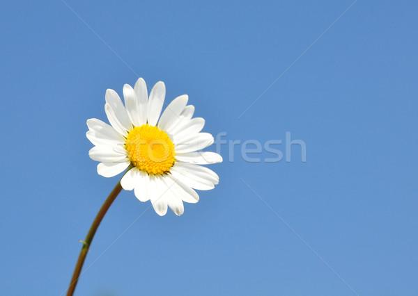 Gänseblümchen Himmel blau Anlage weiß gelb Stock foto © rbiedermann
