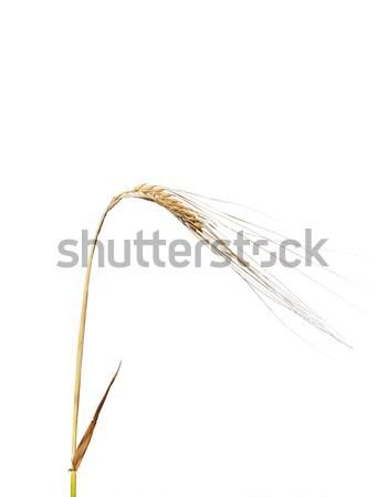 árpa virág természet mezőgazdaság gabona gabonapehely Stock fotó © rbiedermann