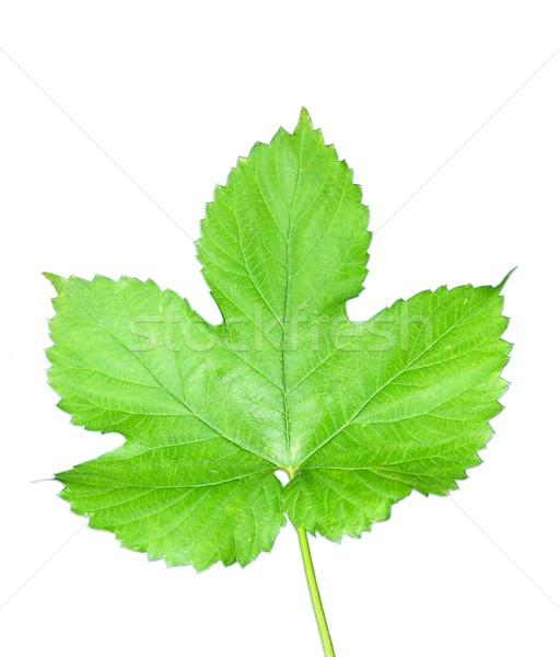 Isolated hop leaf Stock photo © rbiedermann