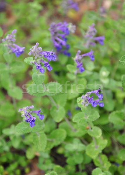 Stock photo: Catmint (Nepeta faassenii)