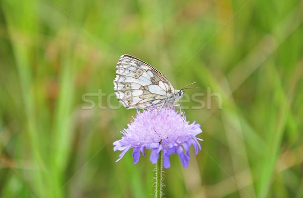 Marbled white (Melanargia galathea) Stock photo © rbiedermann
