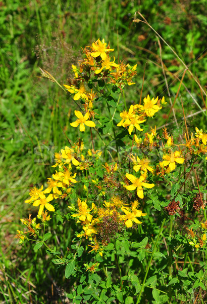 Common St Johns wort (Hypericum perforatum) Stock photo © rbiedermann