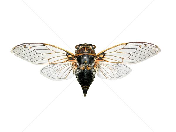 Cicada Lyristes plebejus Stock photo © rbiedermann