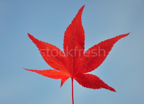 Rosso foglia d'acero blu autunno impianto caduta Foto d'archivio © rbiedermann