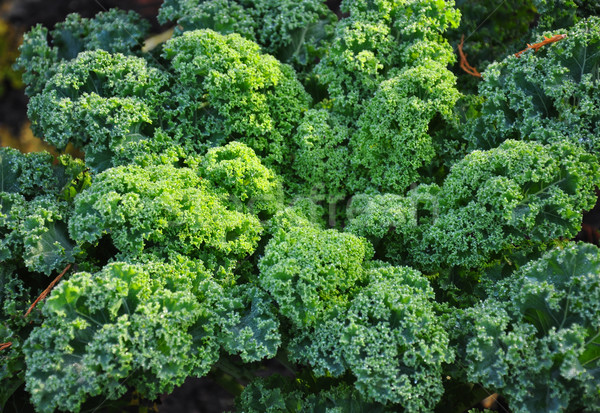 Stock photo: Kale plant