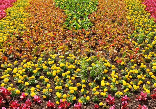 Parterre de fleurs fleurs rouge parc plantes sol Photo stock © rbiedermann