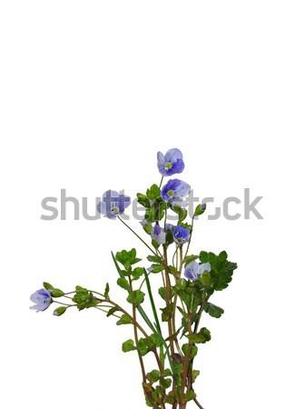 Snello viola erbe selvatico flora fiorire Foto d'archivio © rbiedermann