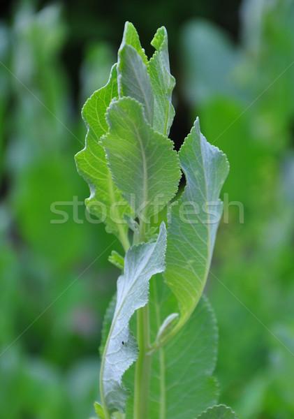 медицинской листьев завода трава флора Сток-фото © rbiedermann